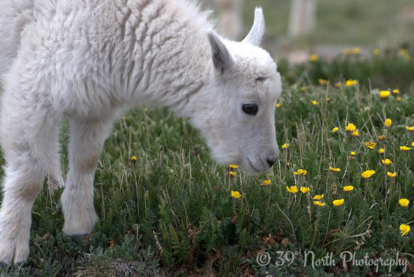 Baby mountain goat, Mount Evans, Colorado