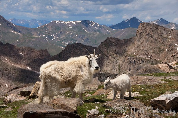 Mama goat and her kid, Mount Evans, Colorado