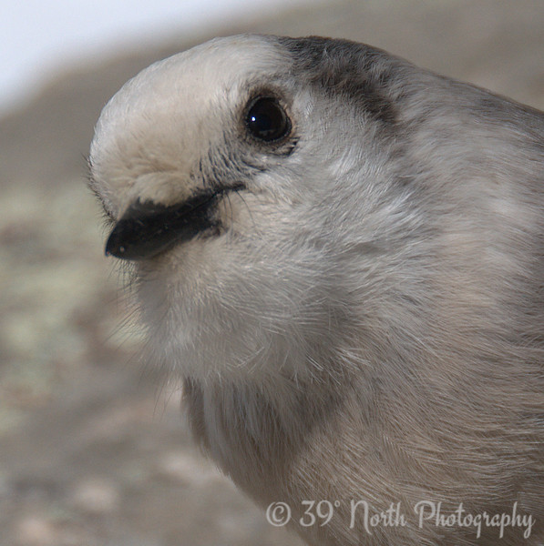 Gray Jay close-up